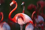 flamingo desktop wallpaper